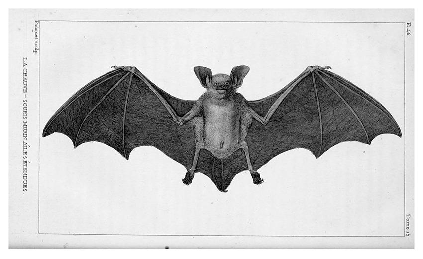 14 pipistrello